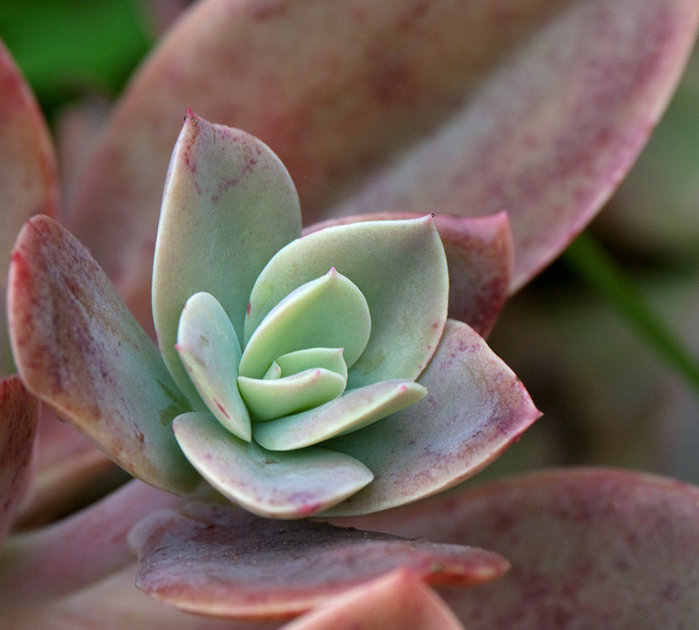 Graptoveria Gilva