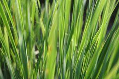 Gras im Abendlicht 2