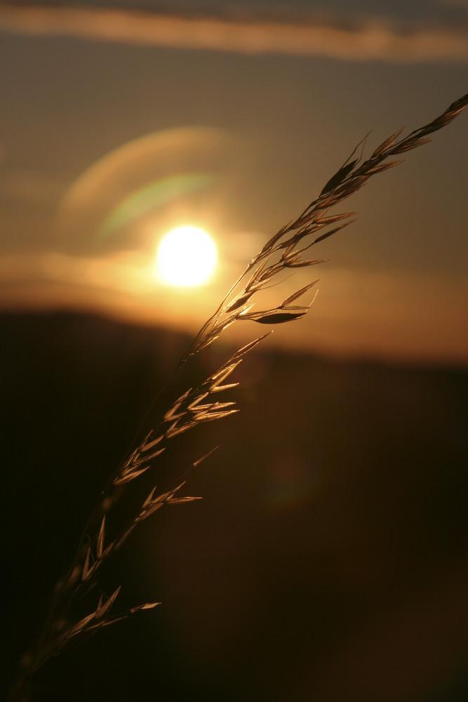 Gras im Abendrot beim Sonnenuntergang