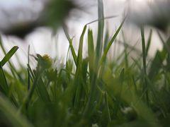 Gras (Käferperspektive)
