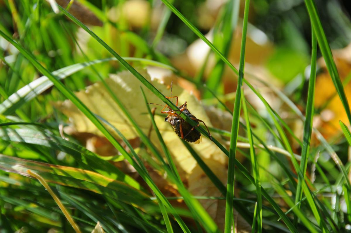 Gras mit Käfer
