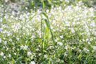 Gras mit Sternmieren (Stellaria holostea) im Frühtau