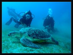 grasende Suppenschildkröte
