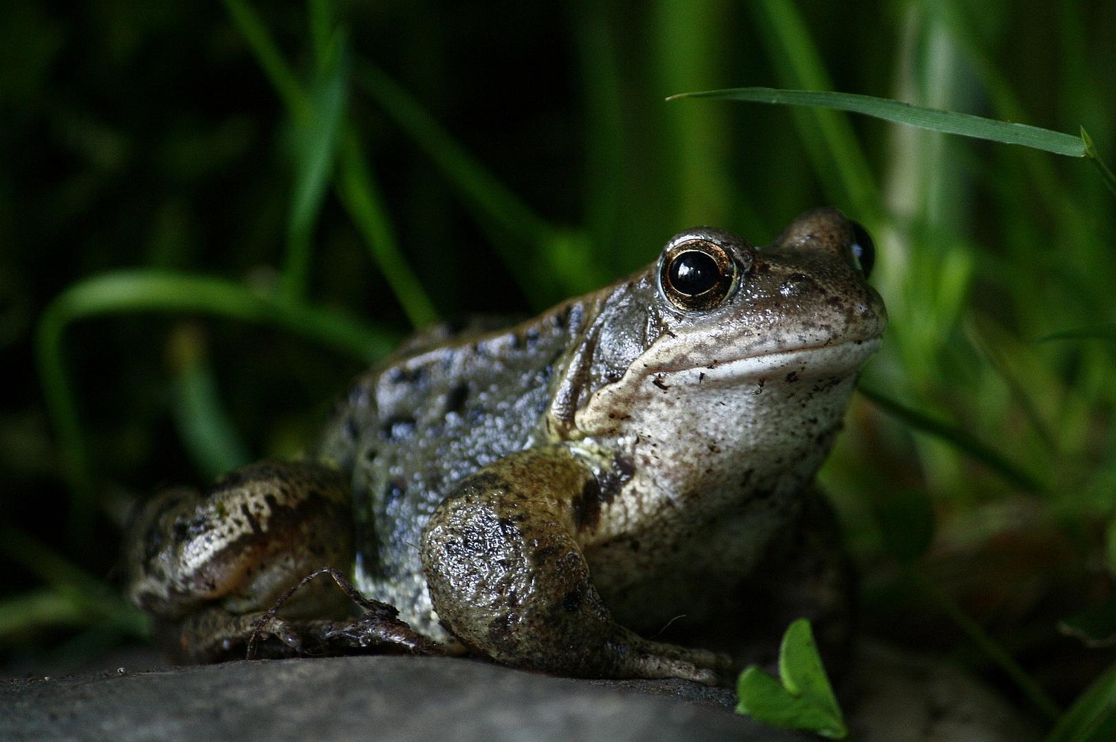 Grasfrosch - Rana temporaria