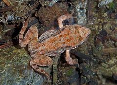 Grasfrosch (Rana temporaria) unter Wasser. - Grenouille rousse sous l'eau.