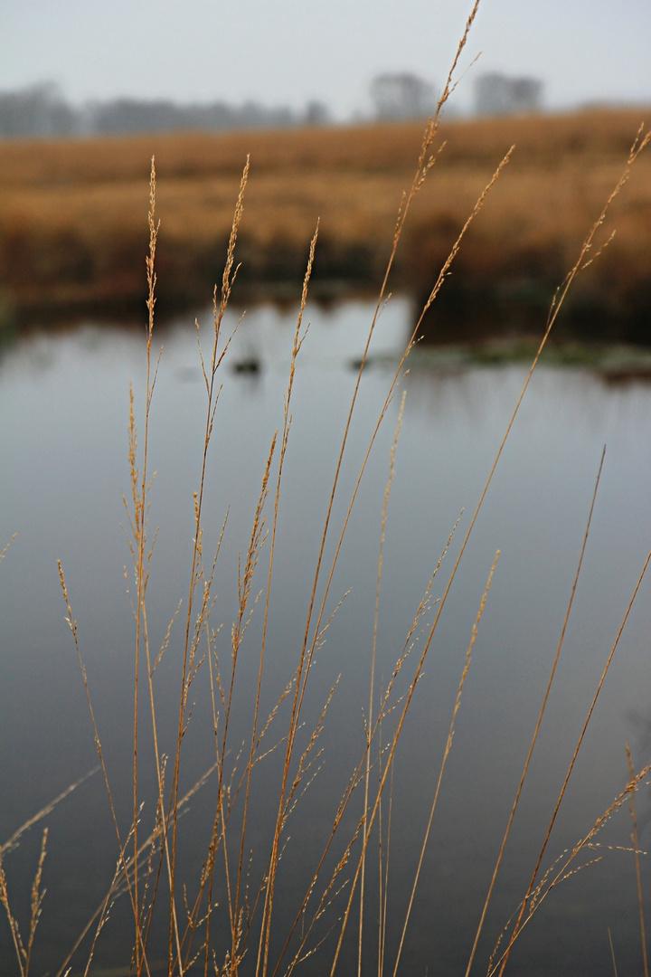 Grashalme im Moor