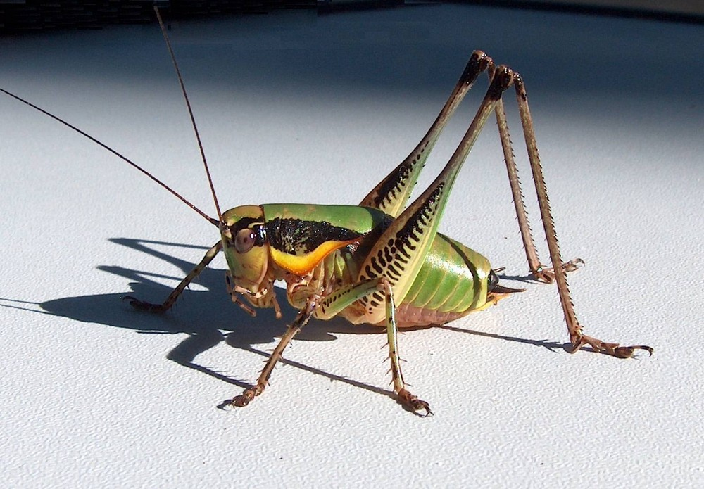 grashopper in Istrie on the campground