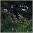 grass beside the river coquet near windyhaugh