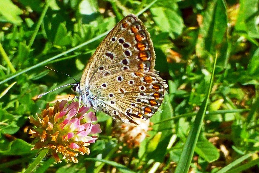 grass blue butterfly, Zizina labradus