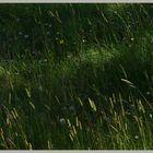 grass near trows plantation Cheviot hills