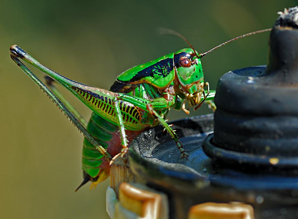 Grasshopper II