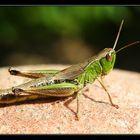 Grasshoppers V