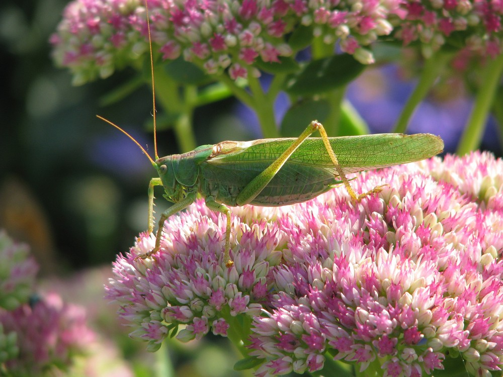 Grasshopping im Garten!