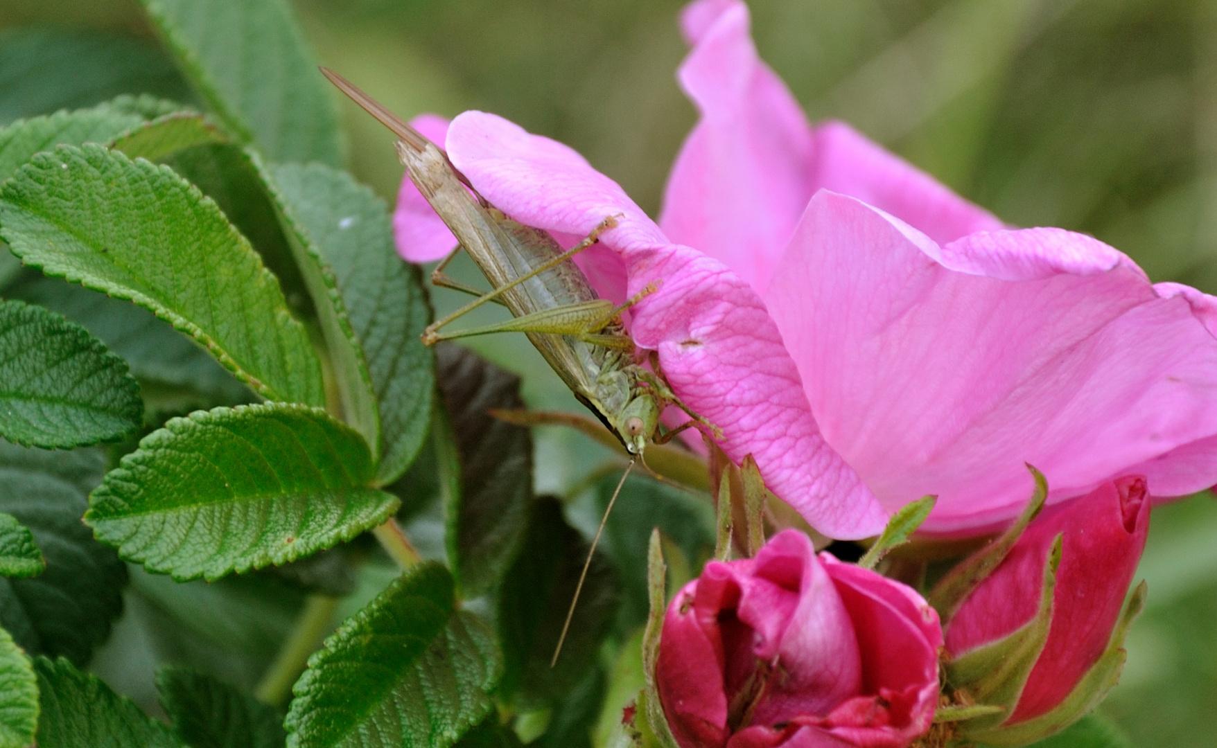Grasshüpper uff Blume