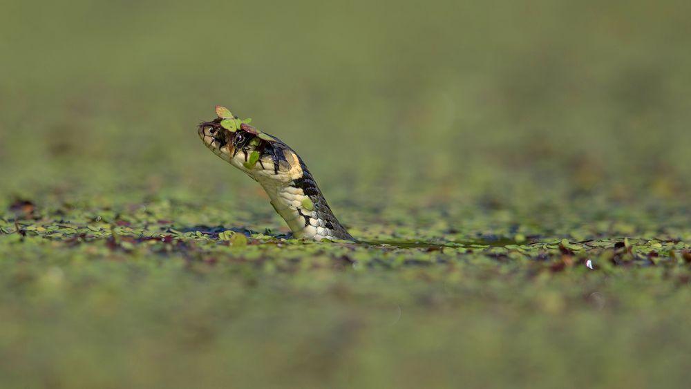grassnake