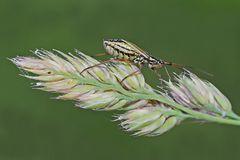 Graswanze (Leptopterna dolabrata)*, Weibchen. - La punaise fait une promenade...