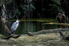 Grau- oder Fischreiher in den Donauauen