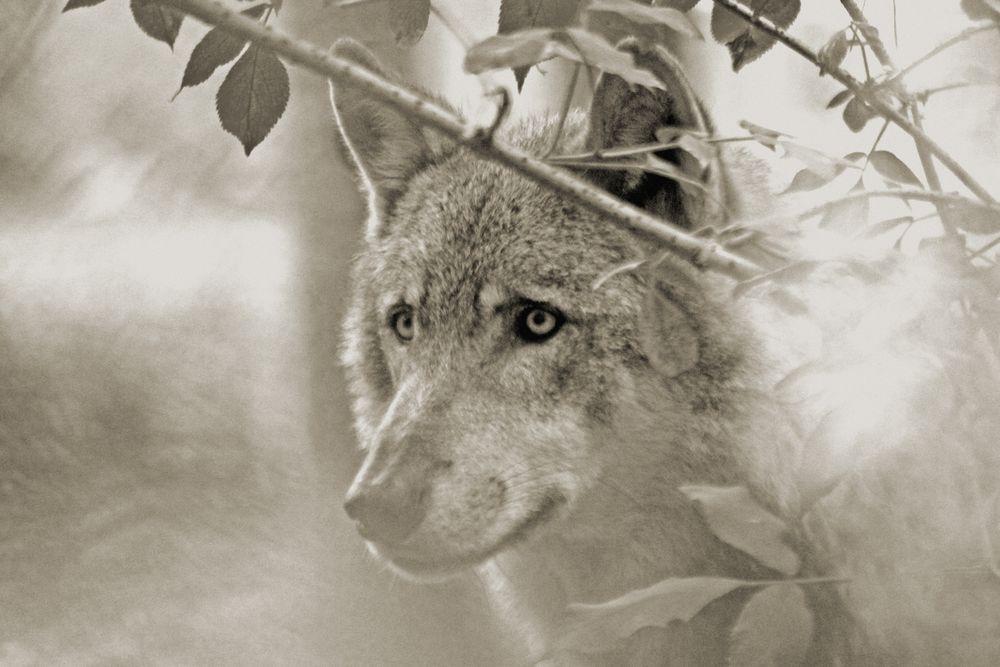 GRAU-Wolf