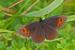 Graubindiger Mohrenfalter (Erebia aethiops) - Le Moiré sylvicole.