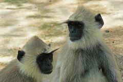Graue Hanumanlanguren