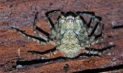 Grauer Flachstrecker (Philodromus margaritatus) * - Dissimulée sous l'écorce d'un arbre...