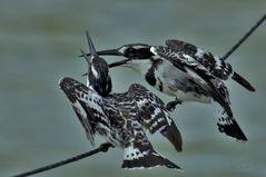Graufischer  ( Ceryle rudis )