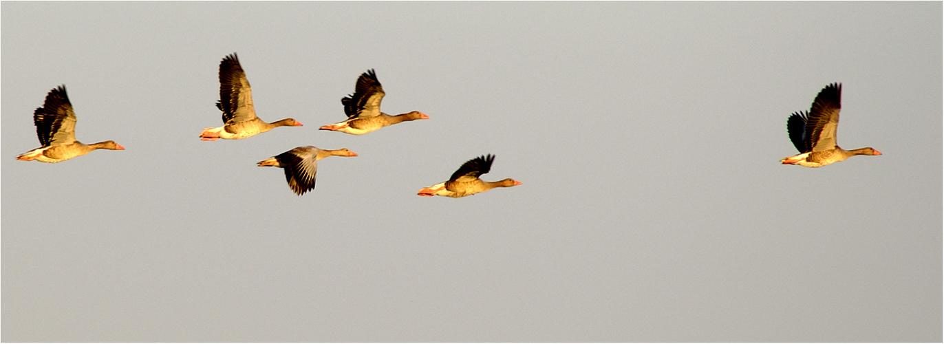 Graugänse im Formationsflug