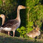 Graugans-Familie in der Abendsonne
