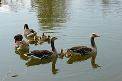 Graugansfamilie