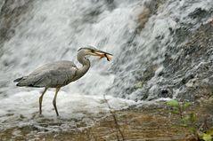 Grauhreiher mit einem gefangenen Fisch