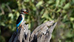 Graukopf Kingfisher