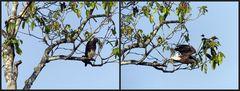 Graukopf-Seeadler