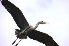 Graureier im Überflug