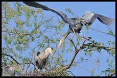 - Graureiher 1 bei der Nestpflege - ( Ardea cinerea )