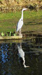Graureiher am Teich in Bielefeld