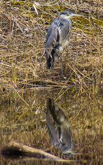 Graureiher am Ufer