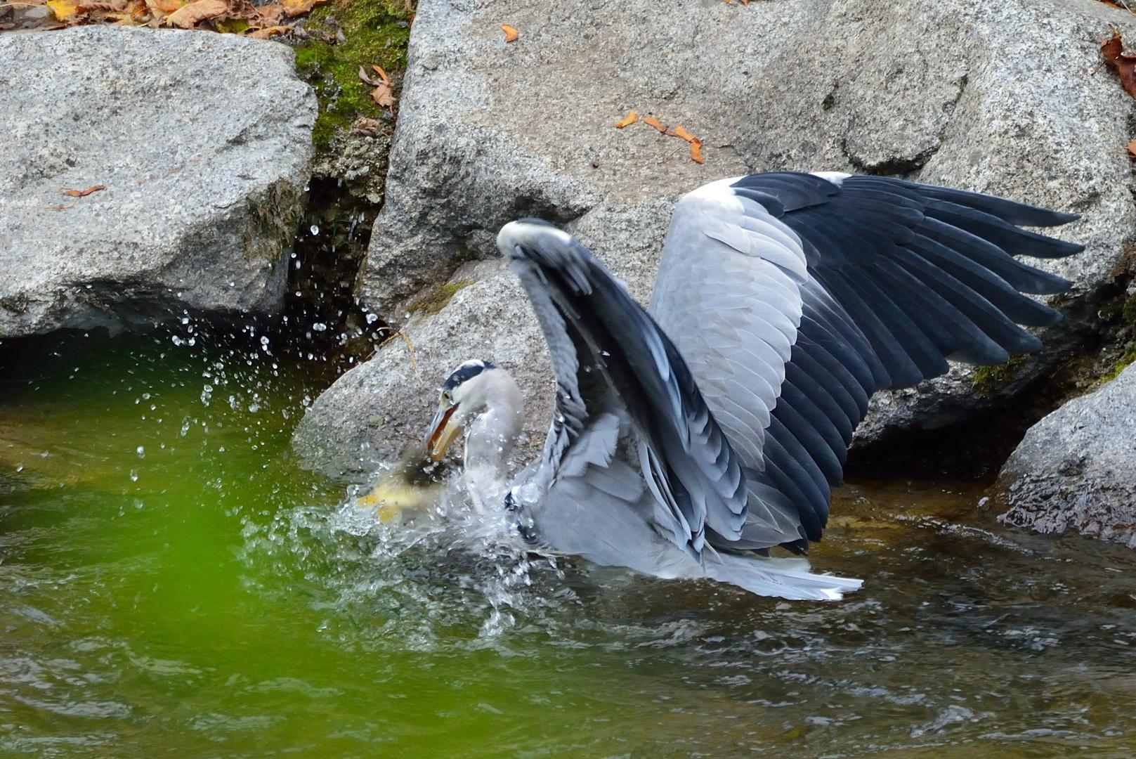 Graureiher beim Fischen