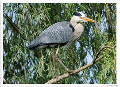 _ Graureiher beim Nestbau - ( Ardea cinerea )