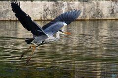 Graureiher fliegend über dem Wasser