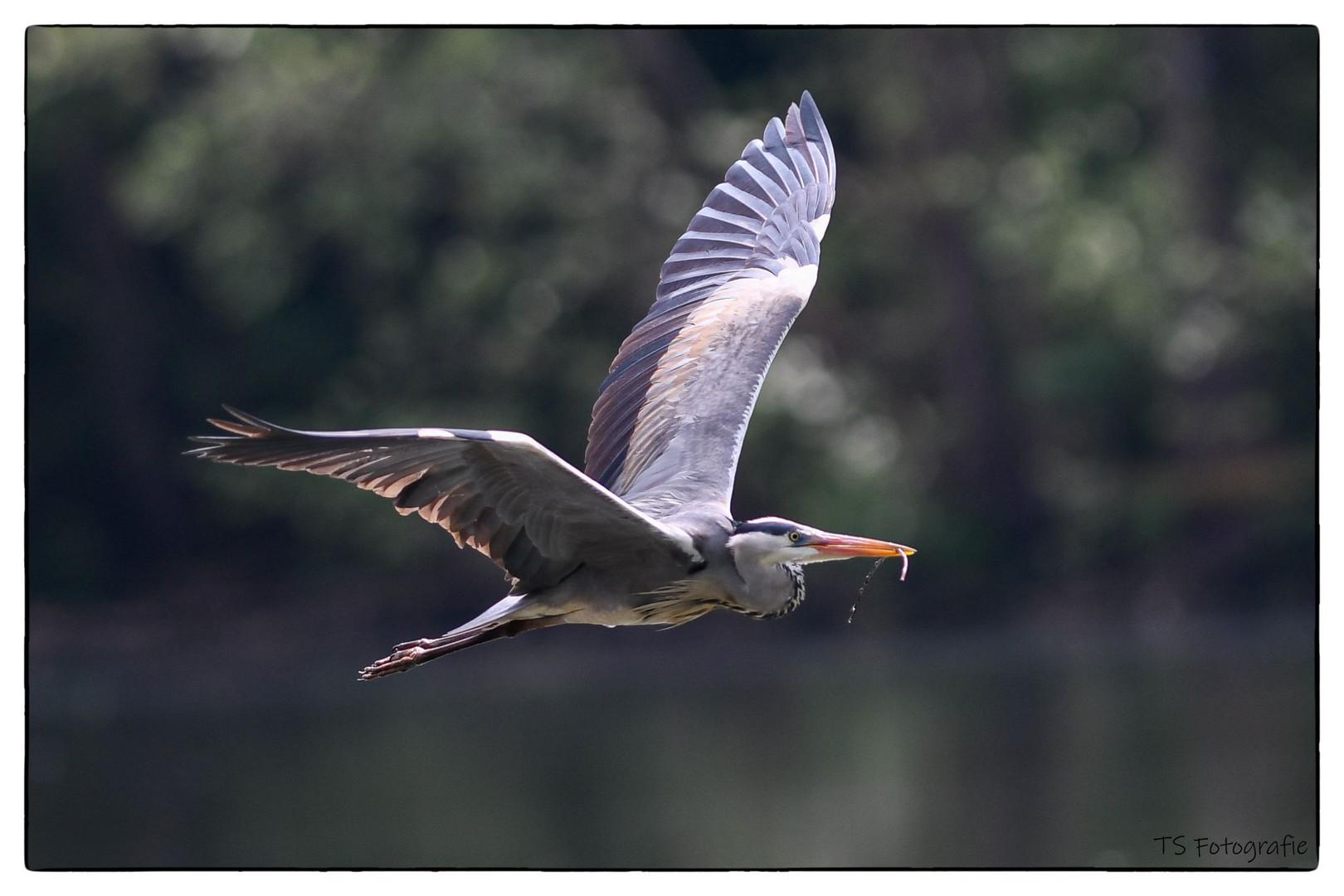 graureiher im flug foto  bild  tiere wildlife wild
