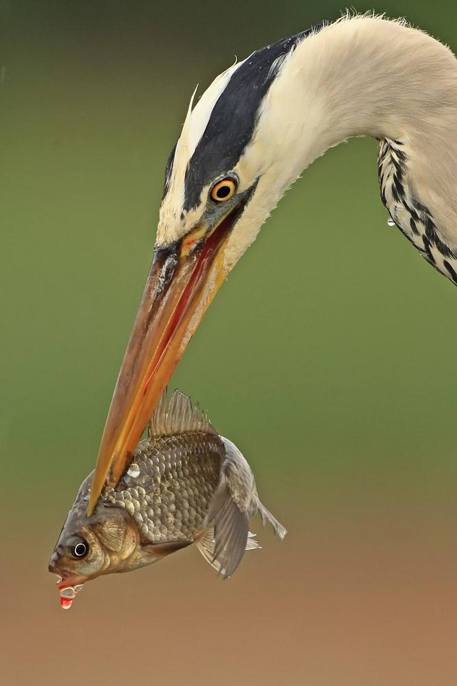 Graureiher mit Fisch