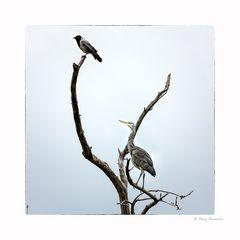 Graureiher und Krähe