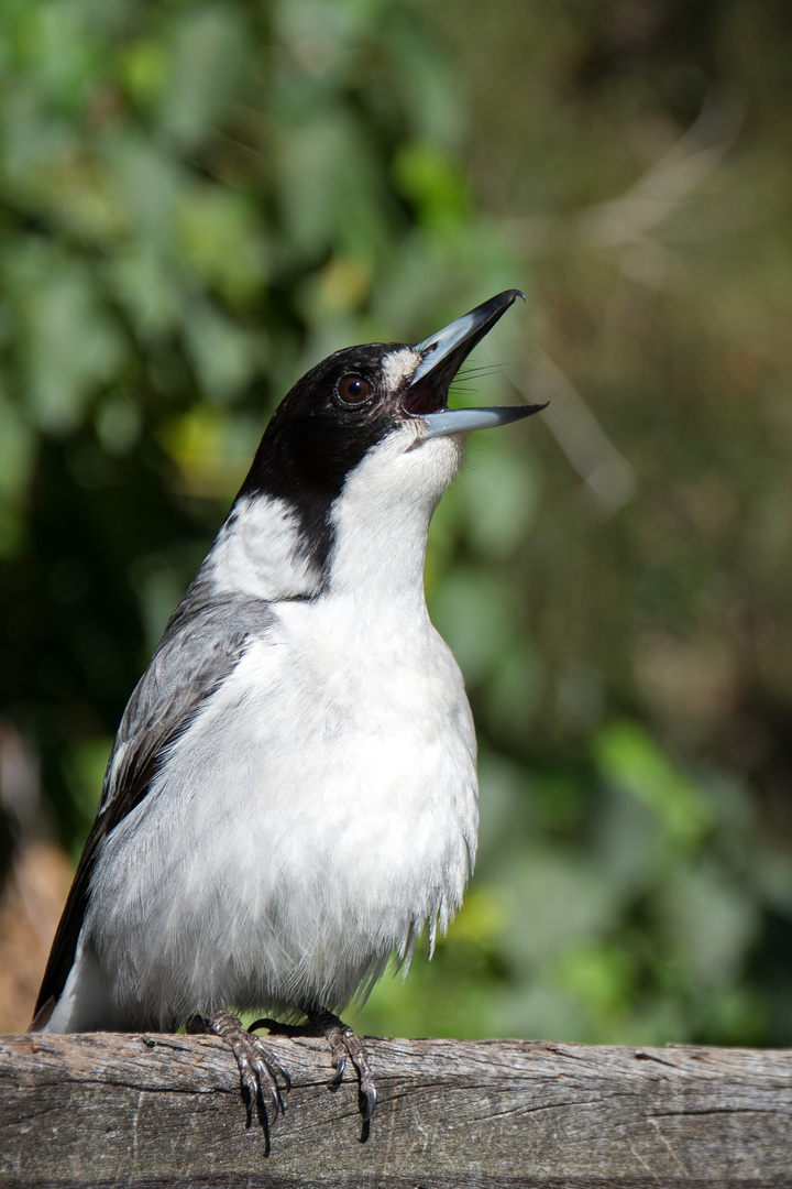 Graurücken-Krähenwürger (Cracticus torquatus) ...