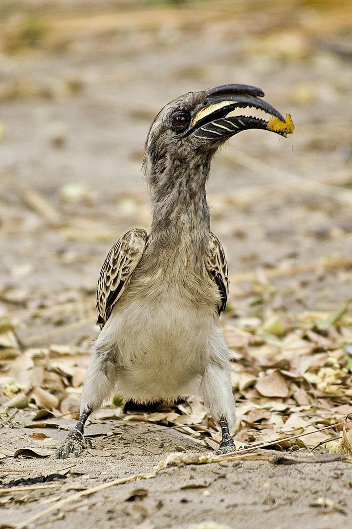 Grautoko - Grey Hornbill - Tockus nasutus (Bucerotidae)