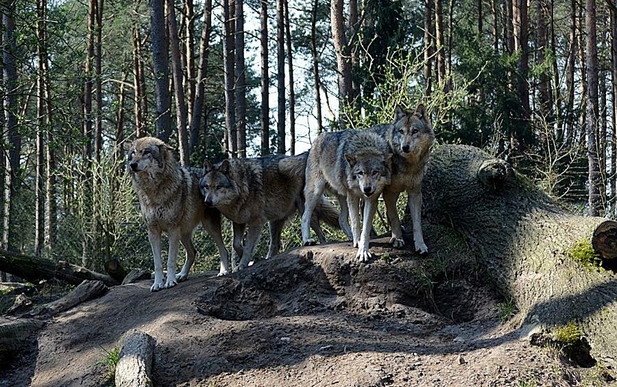 Grauwölfe : 4 gewinnt ;-)