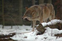 Grauwolf ...