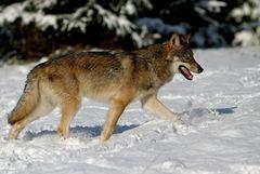Grauwolf im Schnee