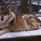Grauwolf in Pose