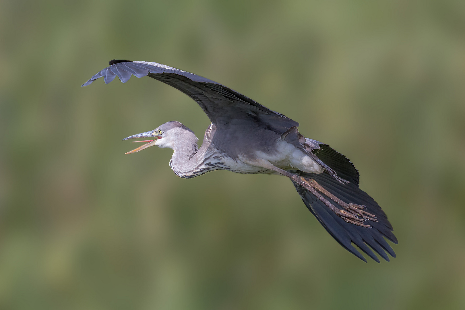 Gray heron in the flyby