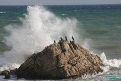 Great Cormorants (Phalacrocorax carbo) on rocks 004038 (Sh+)